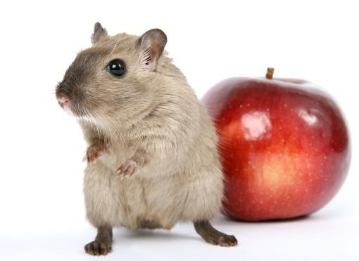 ratta_apple